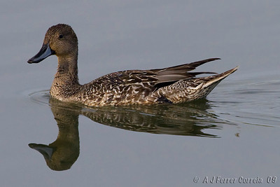 Arrabio (fêmea) - Anas acuta Pintail (female)
