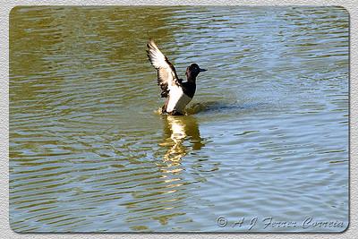 Negrinha - Aythya fuligula Tufted duck