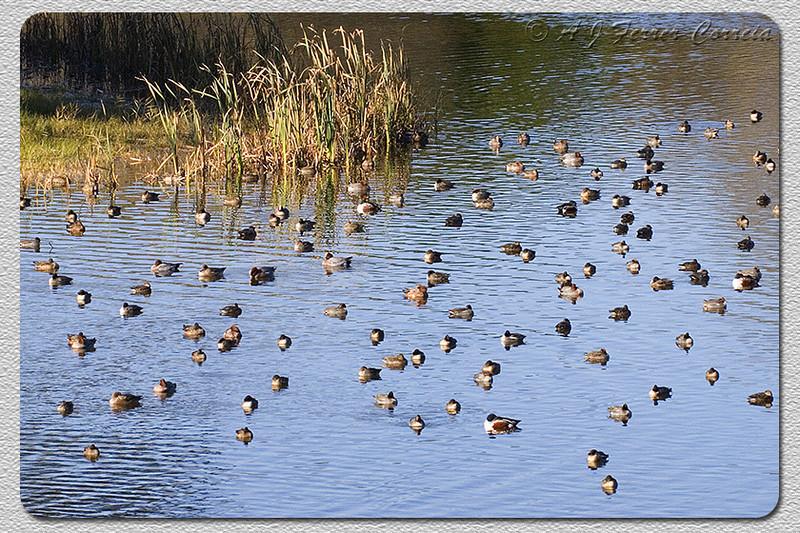 Patos - Reserva Natural das Dunas de S. Jacinto Ducks - S. Jacinto Dunes Natural Reserve