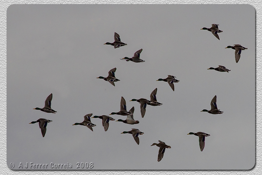 Pato-real (bando em vôo, Outono) - Anas platyrhynchos Mallard (flying flock, Autumn)
