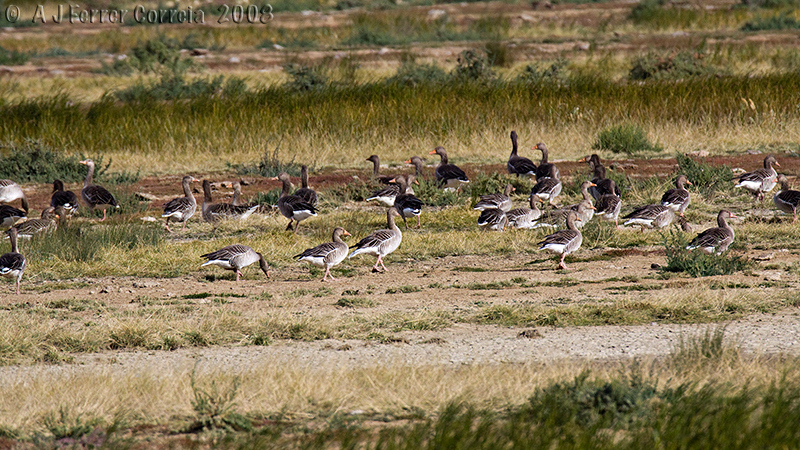 Bando de Gansos-bravos (Anser anser) Flock of Greylag Geese