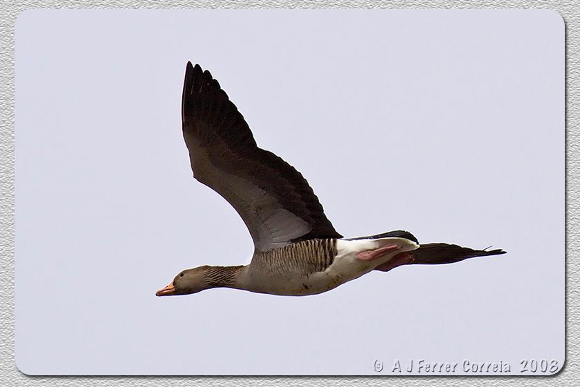 Ganso-Bravo (Anser anser) Greylag Goose