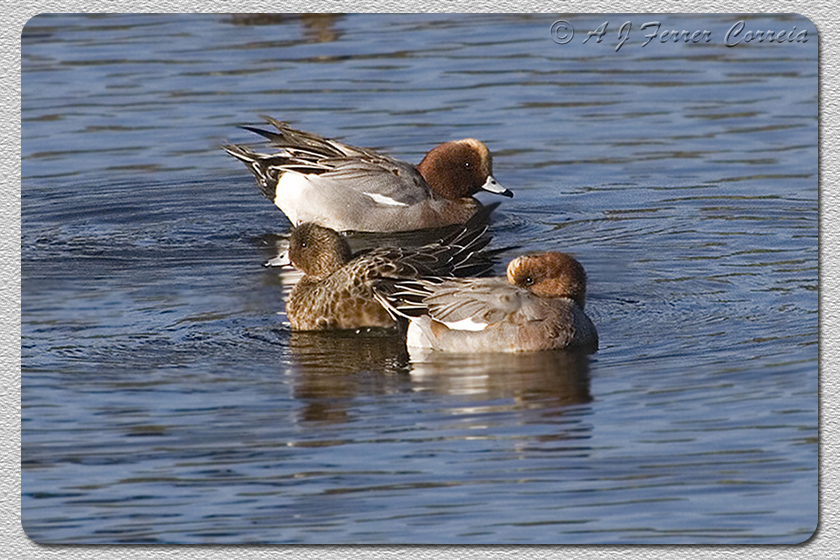 Piadeira (2 machos e uma fêmea, Inverno) - Anas penelope