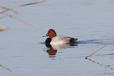 Zarro (macho) - Aythya ferina Common Pochard (male)