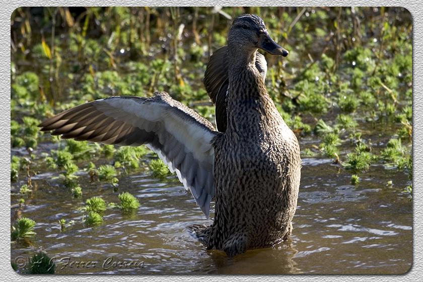 Pato real (fêmea) - Anas platyrhynchos Mallard (female)