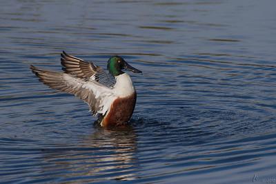 Pato-trombeteiro (macho) - Anas clypeata Shoveler (male)