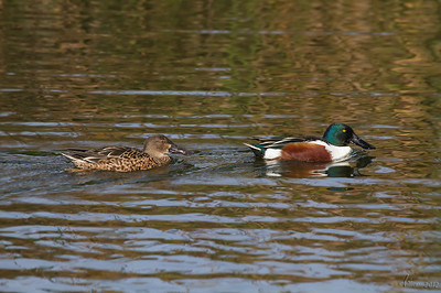Pato-trombeteiro (macho e fêmea) - Anas clypeata Shoveler (male and female)