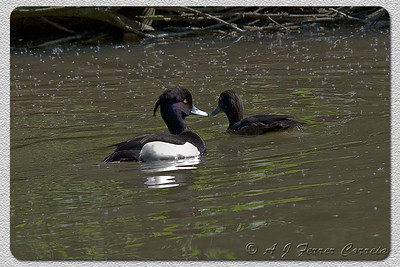 Negrinha (casal) - Aythya fuligula (foto em cativeiro) Tufted duck (couple, shot in captivity)