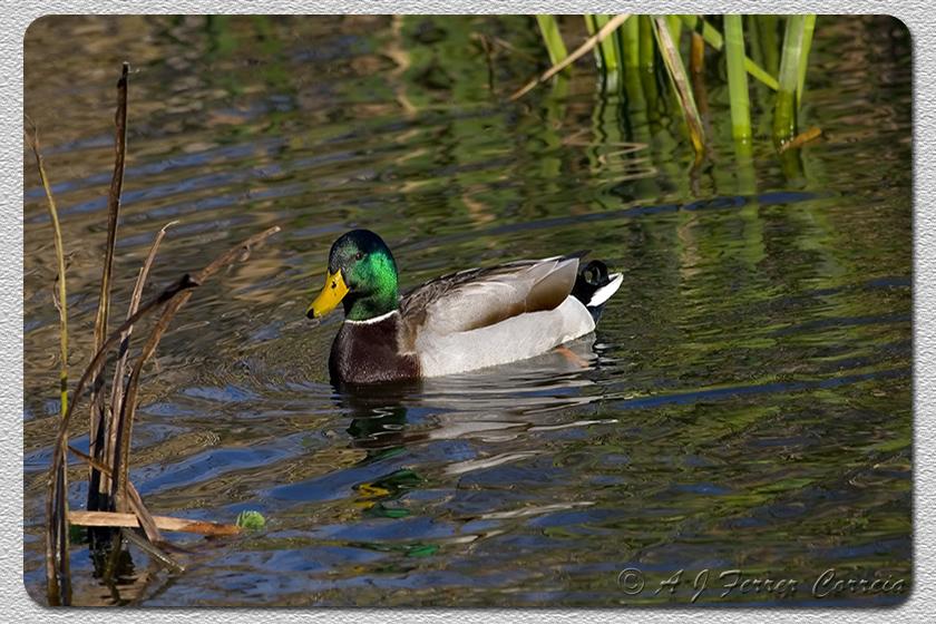 Pato real (macho, Inverno) - Anas platyrhynchos Mallard (male, winter)