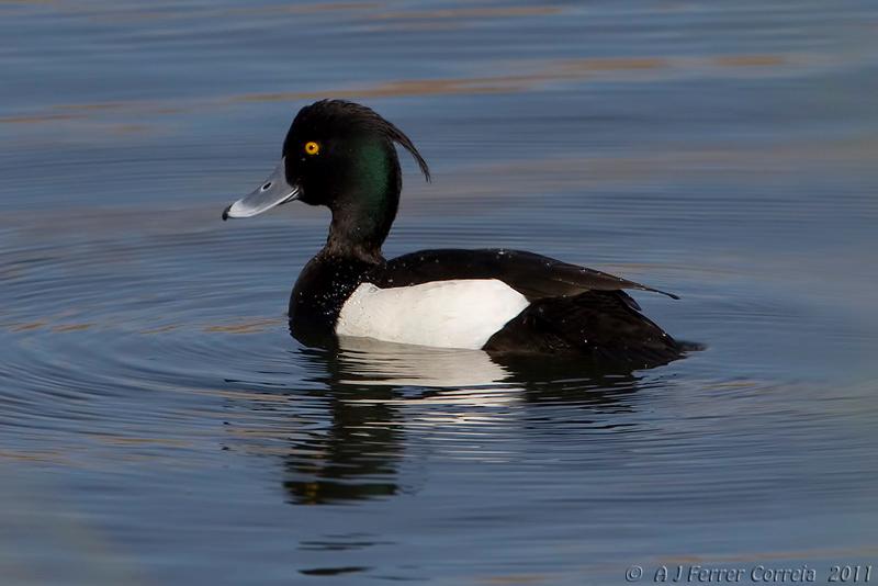 Negrinha (macho) - Aythya fuligula Tufted duck (male)