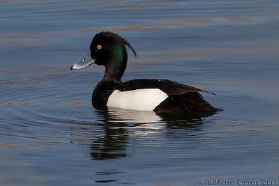 Negrinha (macho) - Aythya fuligula Tufted duck (male)