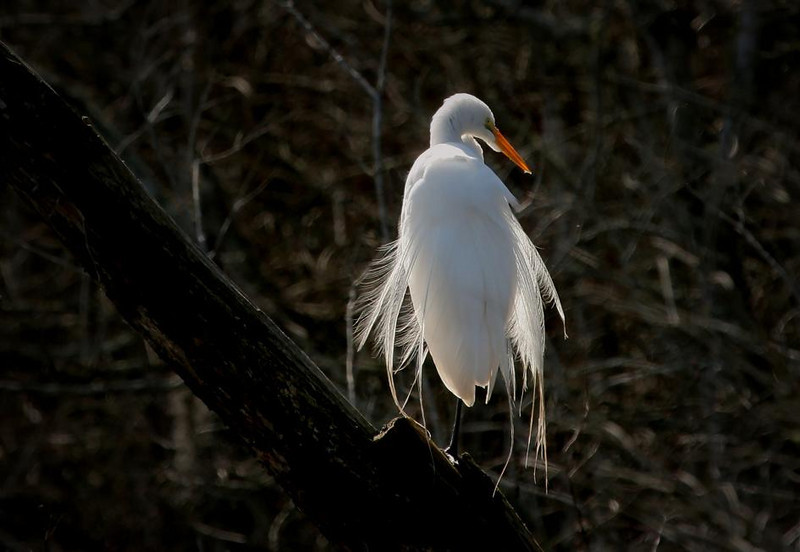 Jan 26, 2008. Brazos Bend State Park, Texas. A Great Egret in backlight conditions.