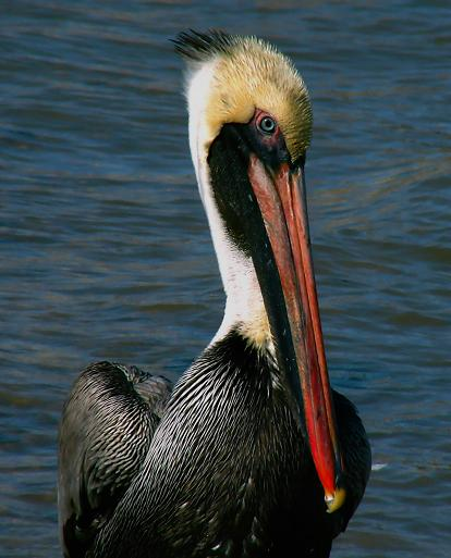 Texas City, Pier, January 25, 2006,  This Brown Pelican in breeding plumage was waiting beside a fish cleaning table for scraps.  Is that cheating on my part? Yeah, probably.  But I got close to him!