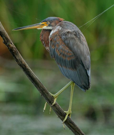 Heron, Tri-colored, Anahuac NWR , 10-8-07