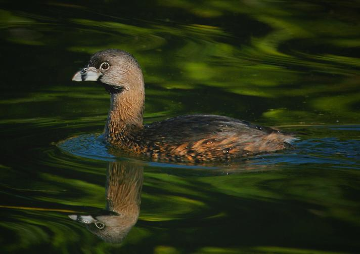 Pied-billed Grebe, January 9, 2007, Hermann Park Lake. Ponds or lakes with bulkheads are great for bird shots because the bulkheads constantly bounce the waves and cause reflections. In this case the green background controlled the reflection colors. When he moved farther forward, a new background of light tan bushes changed the next photo completely.