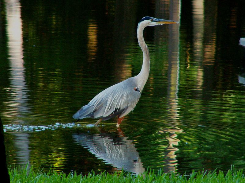 This Great Blue Heron photo was the May image of a free advertising calendar that had 100,000 copies distributed in Kingwood, Atascocita, Spring, Champions, and North Houston addresses. I took it in Kingwood at Kingwood Lake in 2005 from about 30 feet away with a Konica-Minolta point and shoot Z3 digital camera.