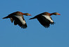 Black-bellied Whistling Ducks were abundant at Brazos Bend State Park on 10-19-09.
