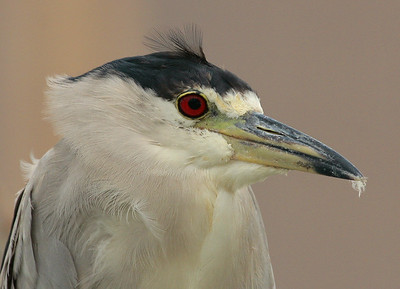 Waterfowl, Wading Birds