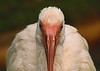 A tame White Ibis, December 2005, Epcot Center, Walt Disney World.