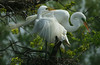 Great Egrets nesting,  High Island, 3-24-07