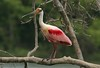 April 14, 2007, A Roseate Spoonbill in breeding plumage at High Island, Texas on the Gulf Coast. Numberous Spoonbills nest here in April and May of each year.