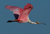 Feb 25, 2007. Galveston's west end. An adult Roseate Spoonbill.