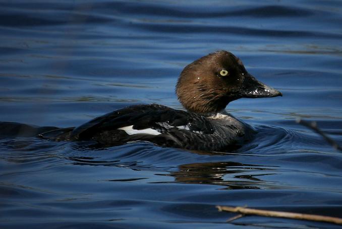 2-25-07, Barrow's Goldeneye Duck, Galveston West beach, on a small backwaters fresh water pond.