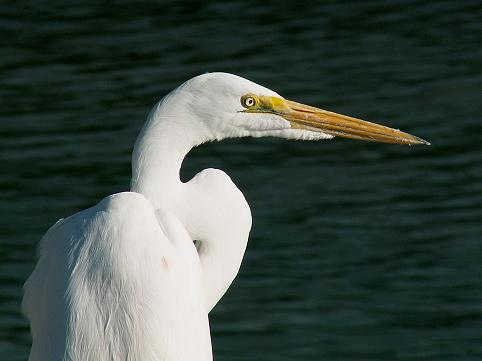 """This Common Egret was waiting for handouts at the fishing docks of the """"Mosquito Fleet"""" shrimp boats in Galveston, Texas behind Joe's Crab Shack, Downtown Galveston, 2005."""