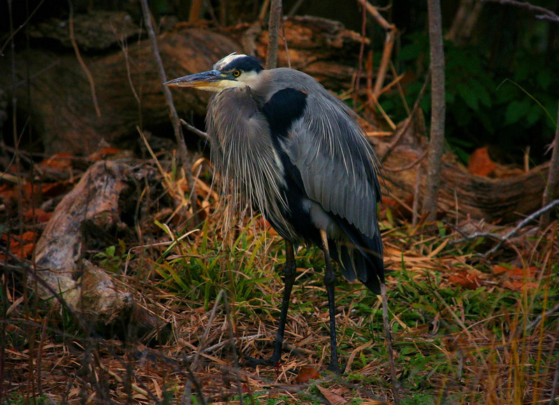 Jan 6, 2007. A Great Blue Heron at Hermann Park, from about 25 yards away.