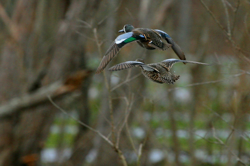 Taken at Brazos Bend 2-17-07, this photo of male and female Blue-winged Teal ducks is posted on the Great Backyard Bird Count webpage.