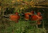 Ducks, Cinnamon Teal, Hermann Lake, 1-9-07