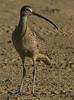 Long-billed Curlew, vertical crop  Bolivar beach, 7-4-08