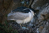 Pt. Lobos Preserve, Calif. just south of Monterrey, May 22, 2007. A Black-crowned Night Heron tends to its eggs in the rookery. Hundreds of Brandt's Cormorants were nesting there also.