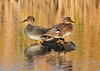 Golden Gadwalls