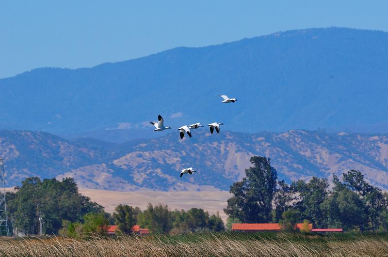 Snow Geese Sacramento NWR