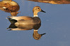 Gadwall Cross Breed Possible Mallard