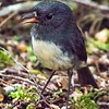 NZ robin (south island)