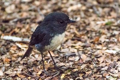 austral robins