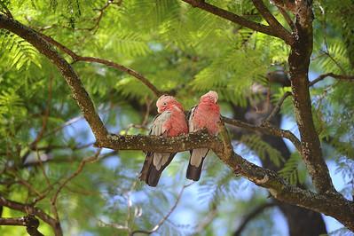 Pair of Galah, Eolophus roseicapilla, Perth, Western Australia