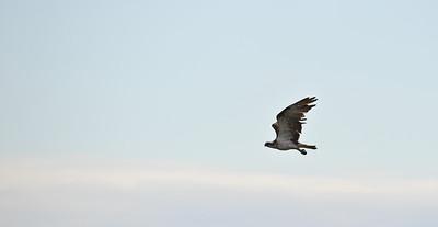 Osprey, Pandion haliaetus, above Perth