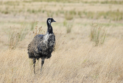 Emu, Dromaius novaehollandiae, Western Australia