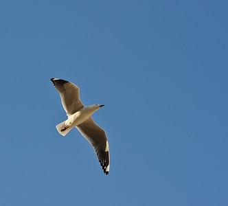 Gull, Fremantle, WA