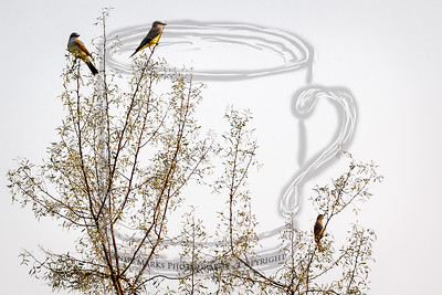 Western Kingbirds top left, unknown orange bird bottom right.
