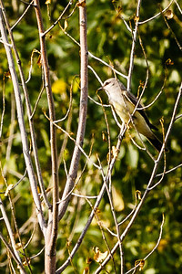 Western Kingbird, seen skimming the pond surface for bugs