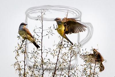Western Kingbirds in a Russian Olive