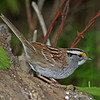 Adult White-throated Sparrow <br /> Boone Co, IA  - Spring2012