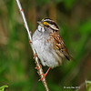 Adult White-throated Sparrow <br /> Boone Co, IA  -2012