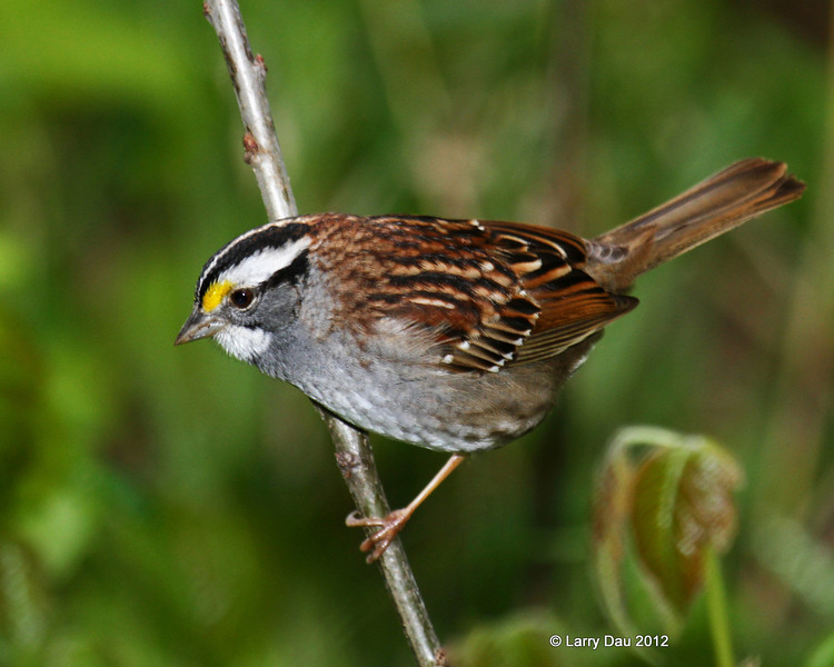 Full Colored Spring Adult White-throated Sparrow <br /> Boone Co, IA 2012