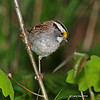 Adult bird on Poison Ivy twig -