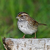 Younger WHite-throated Sparrow